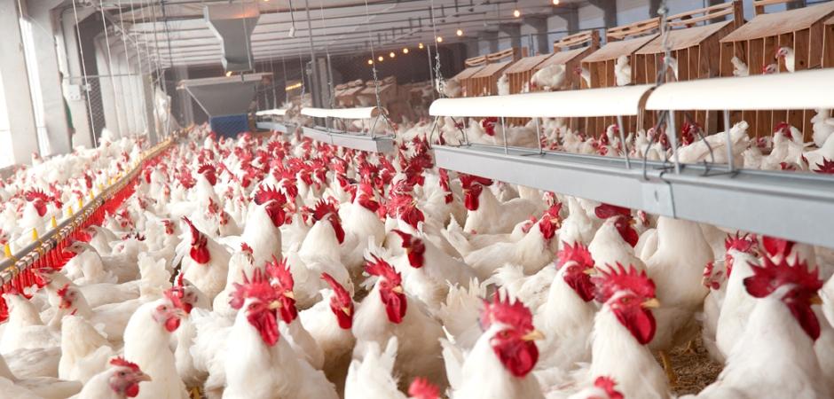 destaque-4-avicultura2
